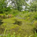"""Lebensraum des europäischen Laubfroschs (Hyla arborea), NSG """"Luppeaue"""" südlich von Schkeuditz bei Leipzig, Sachsen, Deutschland, 22.07.2012, Foto: Andreas Nöllert"""