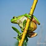 """Europäischer Laubfrosch (Hyla arborea), Weibchen mit grünlicher Kehle, NSG """"Windknollen"""", Jena, Thüringen, Deutschland, 20.04.2011, Foto: Andreas Nöllert"""