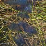 """Einen Tag alte Laichballen des Moorfrosches (Rana a. arvalis), NSG """"Dreba-Plothener Teichgebiet"""", Plothen, Thüringen, Deutschland, 18.04.2013, Foto: Andreas Nöllert"""