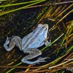 "Moorfrosch (Rana a. arvalis), Männchen, NSG ""Dreba-Plothener Teichgebiet"", Plothen, Thüringen, Deutschland, 18.04.2013, Foto: Andreas Nöllert"