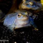 """Moorfrosch (Rana a. arvalis), Männchen mit typischer blauer Färbung während der Paarungszeit, NSG """"Biosphärenreservat Obere Mittelelbe"""", Dessau, Sachsen-Anhalt, Deutschland, 30.03.2011, Foto: Roland Hemmpel – LANDO photoGraphix"""