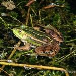 Kleiner Wasserfrosch (Pelophylax lessonae), Männchen, Breitenhain, Thüringen, Deutschland, 22.04.2011, Foto: Andreas Nöllert