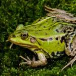 Kleiner Wasserfrosch (Pelophylax lessonae), Weibchen, Breitenhain, Thüringen, Deutschland, 28.04.2011, Foto: Andreas Nöllert