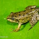 Seefrosch (Pelophylax ridibundus), Metamorphling, Jena, Thüringen, Deutschland, 26.07.2012, Foto: Andreas Nöllert