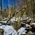 """Springfrosch (Rana dalmatina), NSG """"Langes Moor"""" bei Glowe, Laichgewässer von Rana dalmatina, temporaria und arvalis - auch hier beginnendes Auftauen, 02.04.2013, Foto: Andreas Nöllert"""