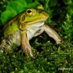 Kleiner Wasserfrosch (Pelophylax lessonae), Männchen, Breitenhain, Thüringen, Deutschland, 28.04.2011, Foto: Andreas Nöllert