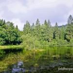 Fadenmolch (Lissotriton helveticus), Teich bei Erlbach am östlichen Arealrand der Art, Elstergebirge, Vogtland, Sachsen, Deutschland, 25.08.2012, Foto: Andreas Nöllert