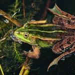 Kleiner Wasserfrosch (Pelophylax lessonae), Breitenhain, Thüringen, Deutschland, 22.04.2011, Foto: Andreas Nöllert