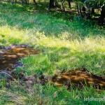 Fadenmolch (Lissotriton helveticus), teilweise beschattete Wildsuhle bei Sophienhof /Harz, Thüringen, Deutschland, 17.08.2012, Foto: Andreas Nöllert