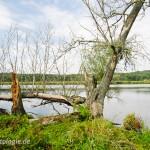 """Seefrosch (Pelophylax ridibundus), Nationalpark """"Unteres Odertal"""" - Oder zwischen Mescherin und Gryfino (Polen), Brandenburg, Deutschland, 17.09.2011, Foto: Andreas Nöllert"""