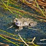"Grasfrosch (Rana temporaria), Männchen, NSG ""Dreba-Plothener Teichgebiet, Plothen, Thüringen, Deutschland, 15.04.2013, Foto: Andreas Nöllert"