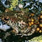 Gesundes Männchen einer Spanischen Geburtshelferkröte (Alytes obstetricans boscai) mit Eigelege. In mehreren Gebirgen Spaniens wurden bei Geburtshelferkröten schon heftige Ausbrüche der Chytridiomykose verzeichnet. Foto: A. Kwet