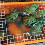 Auch der Handel mit Fröschen für Speisezwecke, wie mit dem Amerikanischen Ochsenfrosch (Lithobates catesbeianus), ist ein wichtiger Ausbreitungsweg des Chytridpilzes Foto: M. Auliya
