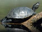 Stolz und schön: Sumpfschildkröten können häufig beim Sonnenbad beobachtet werden; Foto: N. Schneeweiß