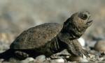 Junge Sumpfschildkröte; Foto: N. Schneeweiß