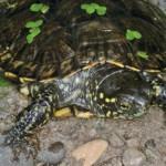 Drei Pilotprojekte zur Wiederansiedlung der Europäischen Sumpfschildkröte mit ausgewilderten Jungtieren werden derzeit in der Schweiz umgesetzt; Foto: A. Kwet