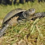 Das Reptil des Jahre 2015: Sumpfschildkroete (Emys orbicularis)