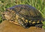 Westliche Sumpfschildkröte aus der Region Tudela (Navarra, Spanien); Foto: A. Kwet