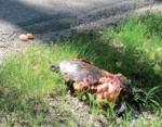 Wandernde Europäische Sumpfschildkröten werden häufig Opfer des Straßenverkehrs; Foto: Nationalpark Donau-Auen