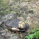 Diese Europäische Sumpfschildkröte wurde von einem Waschbär getötet; Foto: N. Schneeweiß