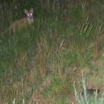 Ein wichtiger Fressfeind von Emys orbicularis (im Vordergrund): der Fuchs; Foto: Nationalpark Donau-Auen