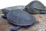 Gesellige Sumpfschildkröten beim Sonnenbad; Foto: D. Schmidt