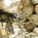 Rana graeca, Canyon des Flusses Rakitnica (Dinariden) zwischen den Gebirgszügen Bjelašnica (Norden) und Visočica (Süden), Sarajevski kanton, 06.08.2012, Foto A. Jouaux.