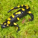 """Salamandra salamandra salamandra/Salamandra salamandra terrestris, Weibchen, NSG """"Waldecker Schloßgrund"""", Waldeck, Saale-Holzland-Kreis, Freistaat Thüringen, 06.08.2012, Foto A.+Ch. Nöllert."""