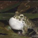 "Bufotes viridis complex (viridis), rufendes Männchen, Tagebaurestloch NSG ""Phönix Nord"" bei Falkenhain, Landkreis Altenburger Land, Freistaat Thüringen, 01.05.1998, Foto A.+Ch. Nöllert"