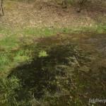 """Rana temporaria temporaria, Laichplatz mit bereits geschlüpften und z. T. frei schwimmenden Larven. Die (jetzt flachen) Gallert-Teppiche an der Wasseroberfläche sind z. T. von Grünalgen besiedelt und in manchen Laichballen befinden sich noch Larven kurz vor dem Schlupf aus den Eihüllen - """"Langetal"""" bei Thalbürgel, Saale-Holzland-Kreis, Freistaat Thüringen, 21.04.2013, Foto A.+Ch. Nöllert."""