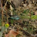 Lacerta viridis viridis, Brandenburg, Foto N. Schneeweiß.