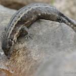 Zootoca vivipara vivipara, trächtiges Weibchen, Oertzenhof (Helpt), Landkreis Mecklenburgische Seenplatte, Mecklenburg-Vorpommern, 09.08.2011, Foto A. Ritter.