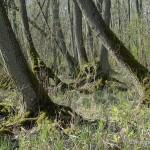 """Lebensraum Natrix natrix natrix, """"Mildenitzer Seebruch"""", ein Erlenbruchwald bei Mildenitz,Landkreis Mecklenburgische Seenplatte, Mecklenburg-Vorpommern, 16.04.2009, Foto A. Ritter."""