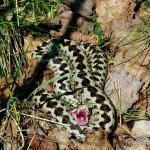"""Vipera berus berus, Männchen, Natura 2000 (FFH) Gebiet """"Pöllwitzer Wald"""" bei Neuärgerniß, Landkreis Greiz, Freistaat Thüringen, 30.04.2008, Foto A.+Ch. Nöllert."""