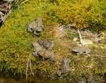 Bombina variegata scabra, Albanische Alpen, Umgebung Dorf Theth, am Grunas-Wasserfall, Seitenbach des Flusses Shala, Präfektur (Qark) Shkodra, 15.07.2015, Foto S. Voitel. (www.sebastian-voitel.de)
