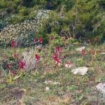 Lebensraum von Algyroides fitzingeri und Podarcis siculus cettii, Bonifacio, Département Corse-du-Sud, 06.04.1993, Foto A.+Ch. Nöllert.