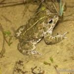 Epidalea calamita, Männchen, Naturschutzgebiet Schwaarzenhaff, Steinfort, Distrikt Luxemburg, Kanton Capellen, 24.04.2005, Foto R. Proess.