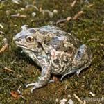 Pelobates fuscus fuscus, Weibchen, Umgebung Tiraspol, Raionul Tiraspol, Republica Moldovenească Nistreană, 12.05.2007, Foto S. N. Litvinchuk.