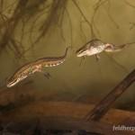 Lissotriton helveticus helveticus, Männchen (links) und Weibchen in Wassertracht, Kaaistoep bei Tilburg, Provincie Noord-Brabant, 02.04.2008, Foto J. Herder/RAVON (www.digitalnature.org).