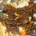 Larven Rana temporaria temporaria nach dem Schlupf aus den Gallerthüllen mit Außenkiemen (Gosner-Stadien 21 bis 23), Håkøybotn, Kvaløya, Fylke Troms, auf ca. 69°46' nördlicher Breite, 09.06.2009, Foto F. Broms.