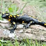 Salamandra salamandra salamandra, Sakarpatska oblast. Die Ukrainischen Karpaten bilden einen Teil der nördöstlichen Art-Arealgrenze, 13.05.2014, Foto Y. Pysanets.