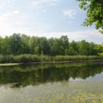 Lebensraum von Triturus dobrogicus, Altarm der Donau bei Boki (südöstlich Kölked), Duna-Dráva-Nationalpark, Komitat Baranya, 04.09.2012, Foto A.+Ch. Nöllert.