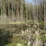"""Lebensraum von Triturus cristatus, Bufo bufo, Rana arvalis arvalis 1,7 km nordöstlich von Michalishki, Astravyets Rajon, Hrodsenskaja Woblasz (54°49'45.37""""N - 26°11'21.27""""E), 30.04.2009, Foto: R. Novitsky."""