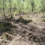 "Lebensraum von Lacerta agilis chersonensis, westlich von Selischi, Astravyets Rajon, Hrodsenskaja Woblasz (54°41'12.19""N - 25°49'42.39""E), 27.05.2009, Foto R. Novitsky."