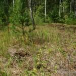 "Lebensraum von Coronella austriaca austriaca und Lacerta agilis chersonensis, 2 km westlich von Tonez, Leltschyzy Rajon, Homelskaja Woblasz (51°52'27.22""N - 27°47'29.20""E), 22.07.2011, Foto R. Novitsky."