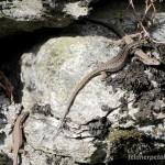 Podarcis muralis, Männchen und zwei Weibchen, Amsteg, Kanton Uri, 19.04.2012, Foto M. Fedier.