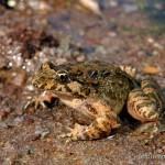 Discoglossus sardus, Sardegna, 24.02.2009, Foto: B. Trapp (www.bennytrapp.de).
