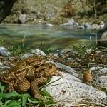 Bufo bufo, Pärchen im Amplexus, Lago di Barrea, Barrea, Provincia dell'Aquila, Regione Abruzzo, 19.04.2003, Foto: A.+Ch. Nöllert.