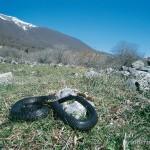 Hierophis carbonarius, Männchen, Anversa degli Abruzzi, Provincia dell'Aquila, Regione Abruzzo, 18.04.2003, Foto: A.+Ch. Nöllert.