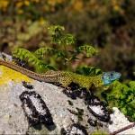 Lacerta schreiberi, Männchen, Parque Nacional da Peneda-Gerês, Região Norte, 12.06.2008, Foto: B. Trapp (www.bennytrapp.de).